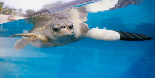 Artificial leg fixes for a lost turtle