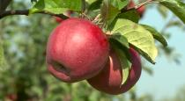 Health issues of eating apple
