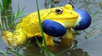 Yellow-frogs-video-goes-viral