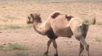 Camel traveled by walk to meet ex boss in China