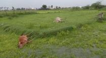 5 cows dead by power attack in chennai