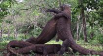 Four Komodo dragons fight video goes viral