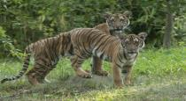 corona-positive-for-a-tiger