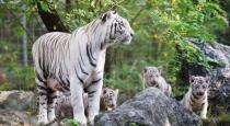 Chennai youngsters attack tiger in vandalur