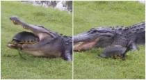 Crocodile trying to eat Turtle video goes viral on internet